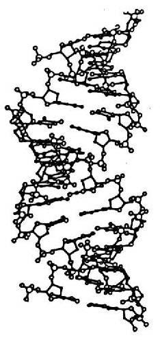 Hélice ADN forme A