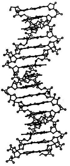 Hélice ADN forme B