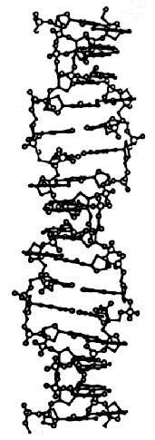 Hélice ADN forme Z